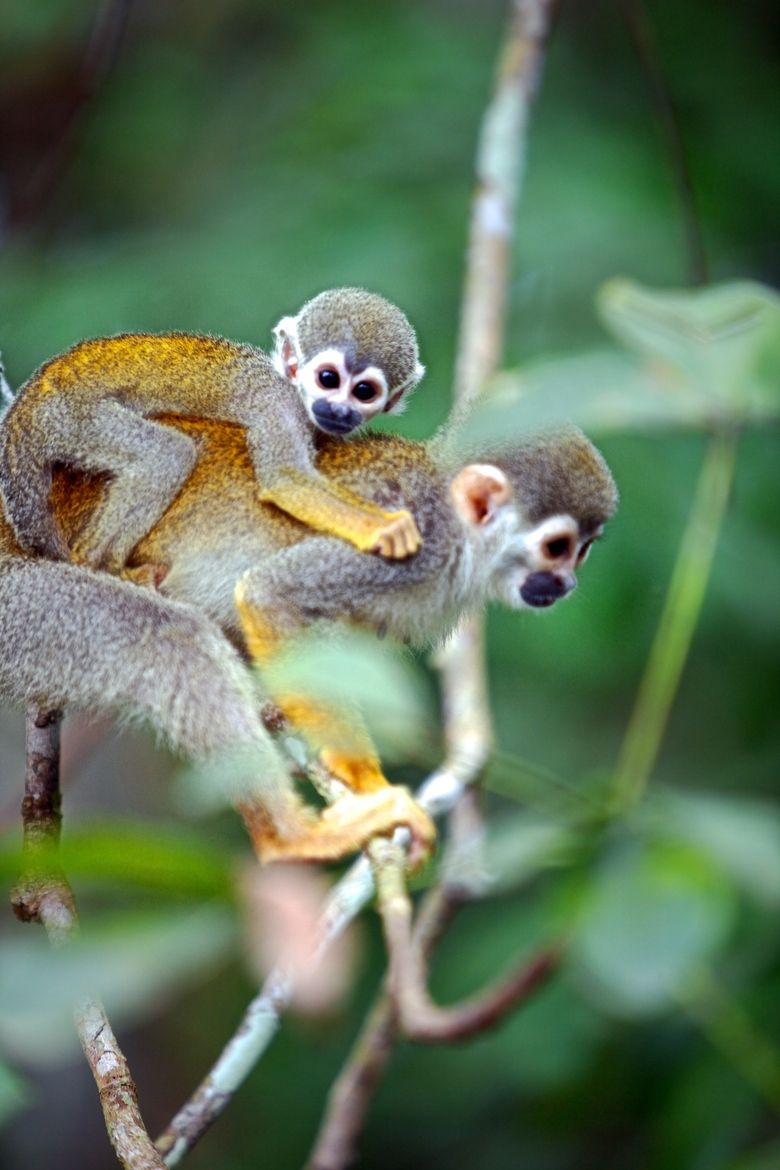 Monkeys In The Amazon Brazil Animals Wild Mother And Baby