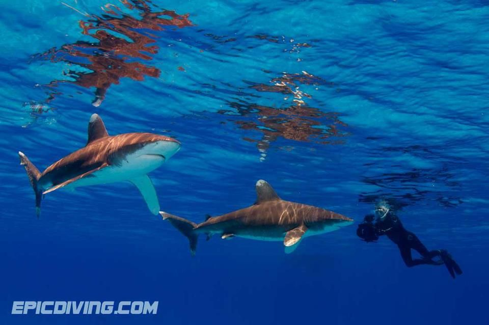 Oceanic Whitetip Shark Diving Expeditions - Epic Diving