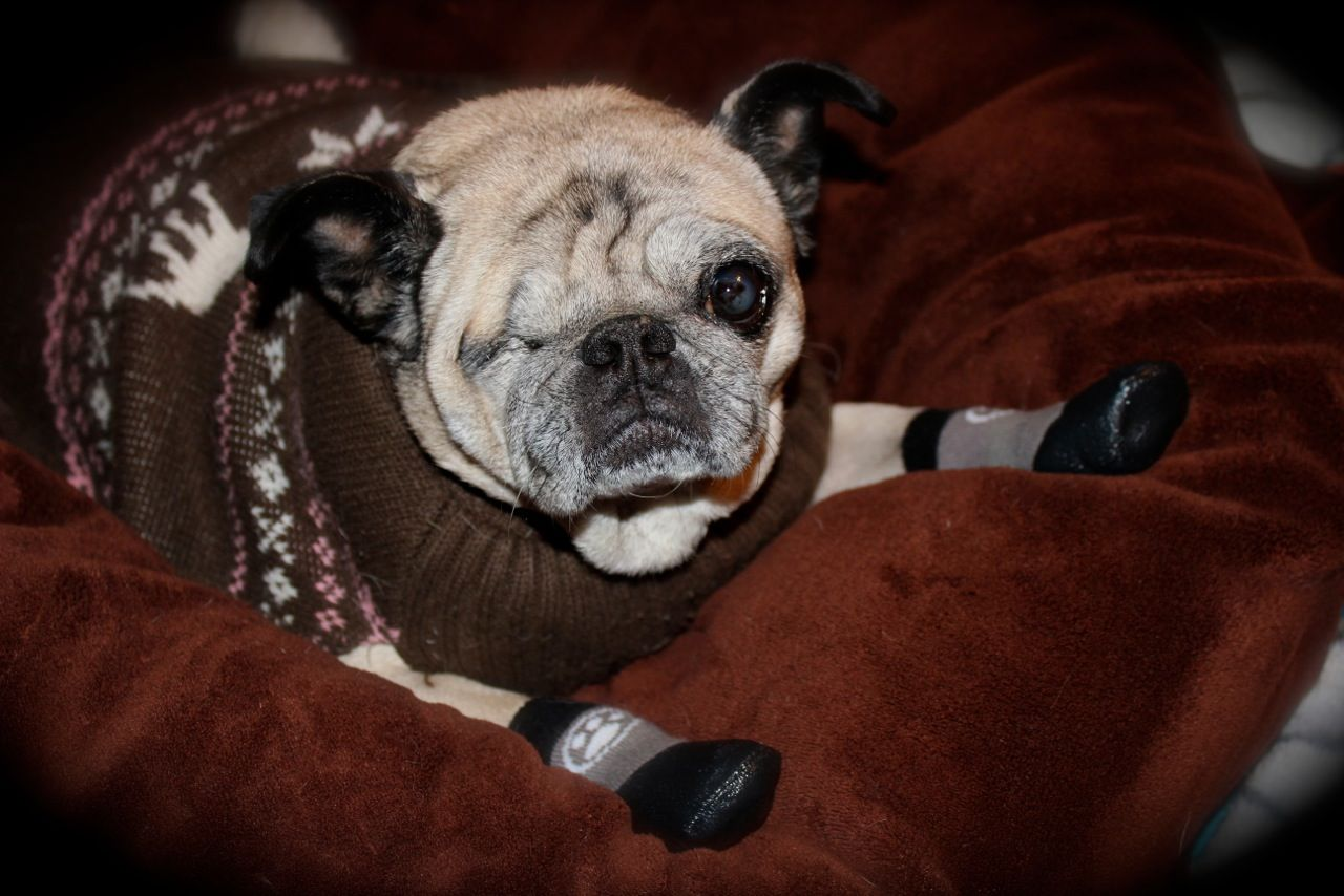 Does it get much cuter than a pug with traction socks and a sweater i