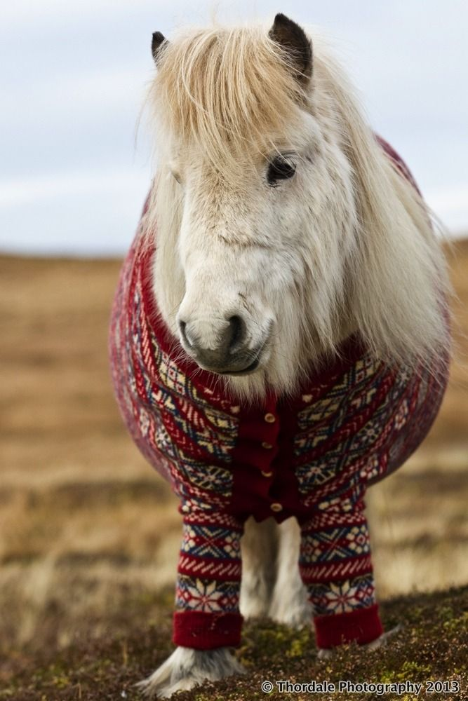 Shetland Pony in a cardigan