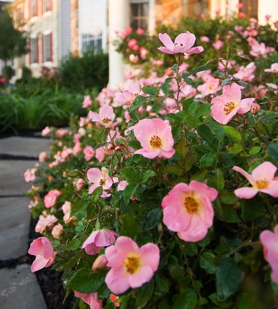 Simple Rose Garden: The Easiest Roses You Can Grow