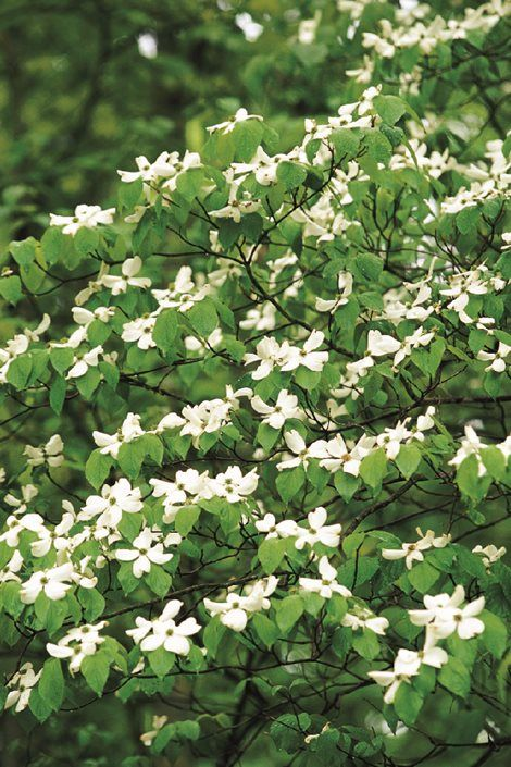 The Dogwood Tree Offers Beautiful Spring Flowers Colorful Fall