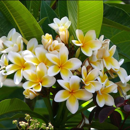 Our Organic Plumeria Essential Oil Plumeria Alba Is Pure Undiluted Plumeria Oil Aka Frangipani Oil Extracted By En Plumeria Flowers Plumeria Tree Flower Pots