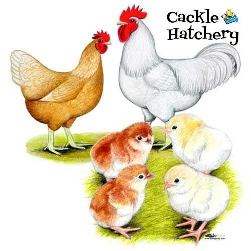 Chickens For Sale | Buy Chicks For Sale Near You | EFowl