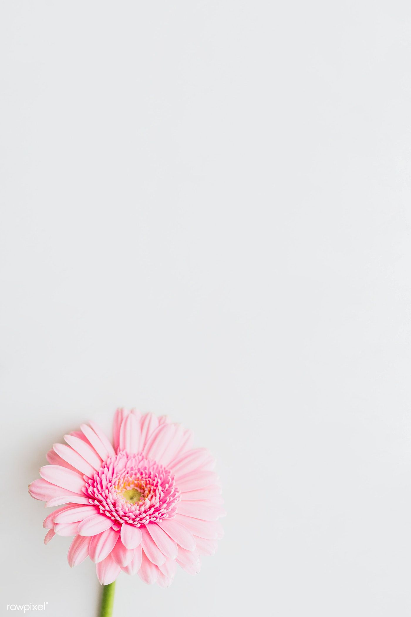 Single Light Pink Gerbera Daisy Flower On Gray Background Free Image By Rawpixel Com Karolina Kaboompics In 2020 Pink Gerbera Gerbera Flower Daisy Background