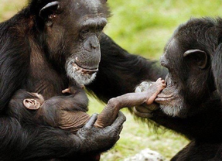 Chimpanzee mother, infant, and friend or sibling