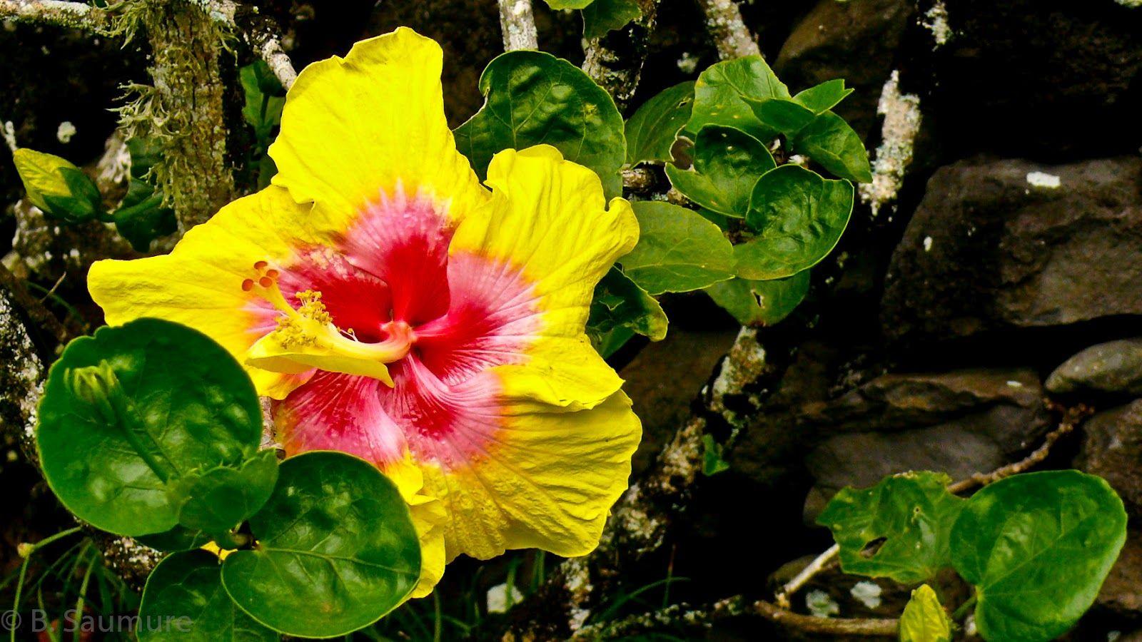 Yellow hibiscus hawaii state flower my photography pinterest yellow hibiscus hawaii state flower izmirmasajfo