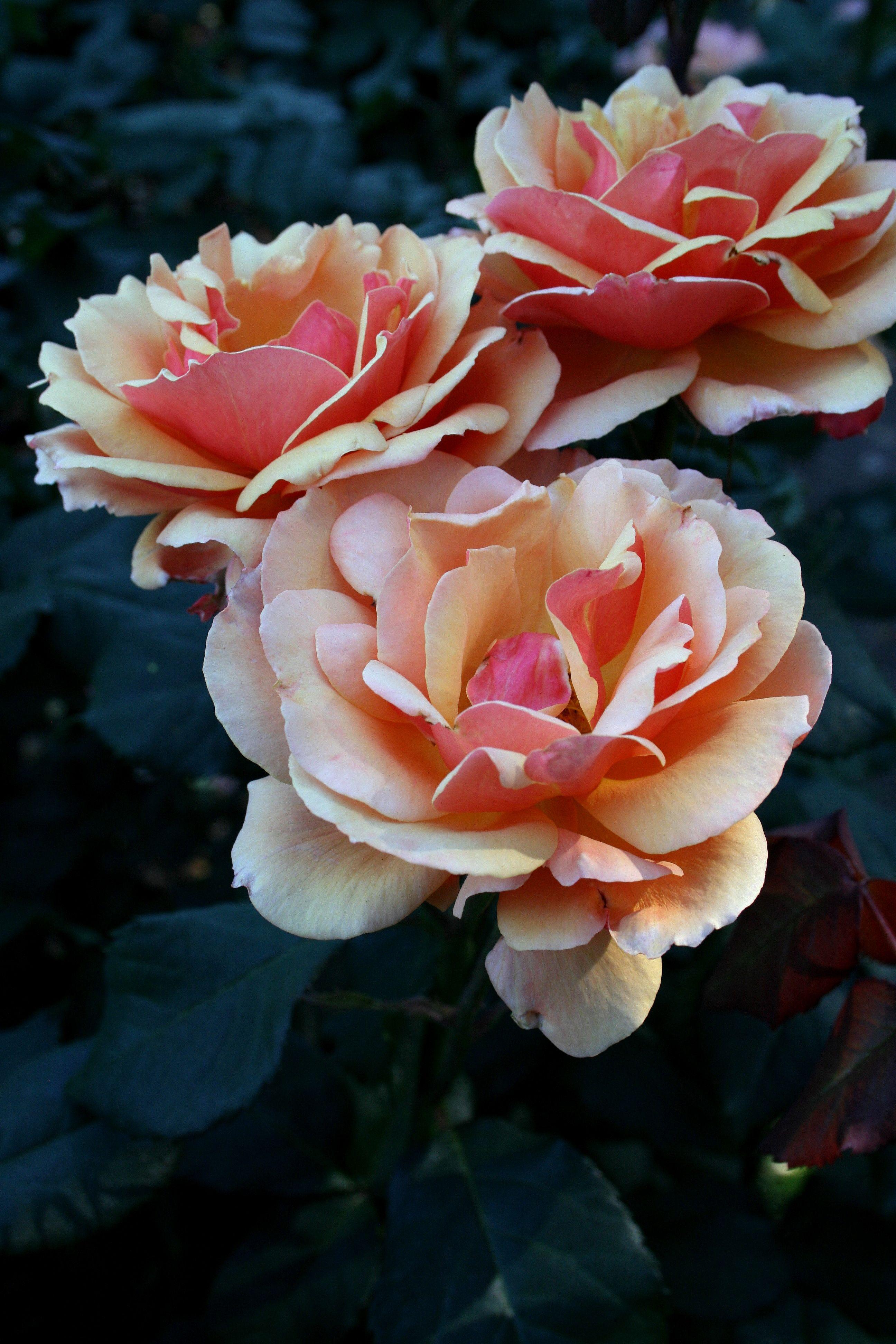 Portland International Rose Garden Rose, Natural wonders