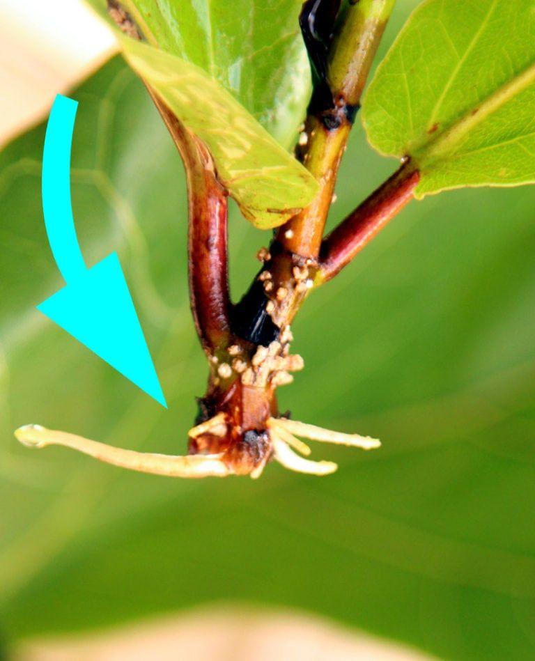Fiddle Leaf Fig Propagation 100 Success In 2 Easy Ways Fiddle Leaf Fig Fiddle Leaf Fiddle Leaf Fig Tree