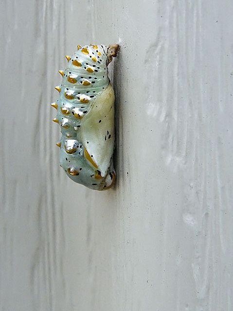 Variegated Fritillary Chrysalis Insekten Tiere Und Raupe
