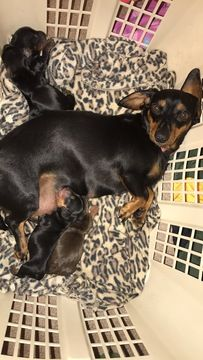 Litter Of 3 Dachshund Puppies For Sale In Richlands Nc Adn 43335