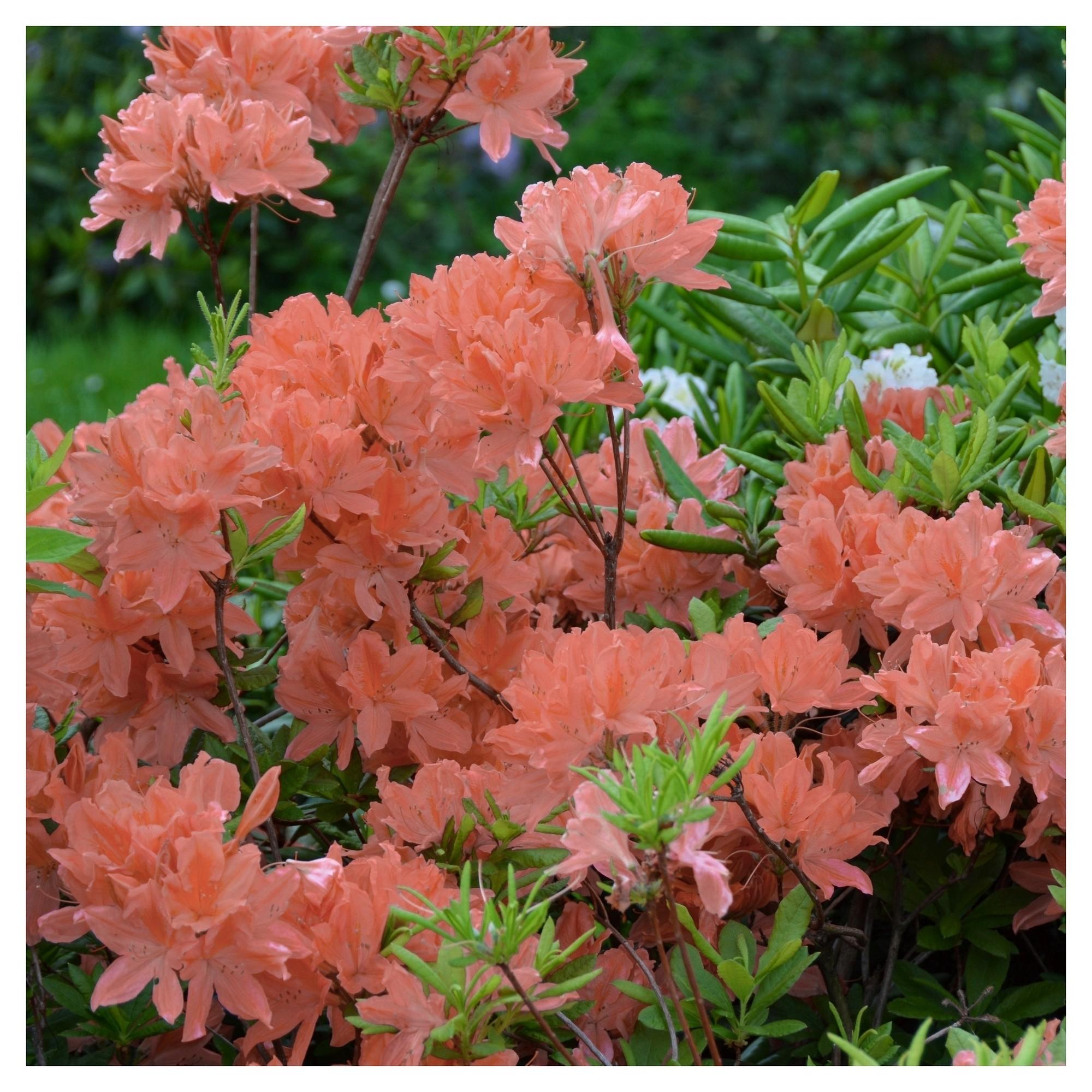 Azalea Blaauw S Pink 1pc National Plant Network U S D A Hardiness Zones 6 9 Plants Planting Flowers Flowering Shrubs