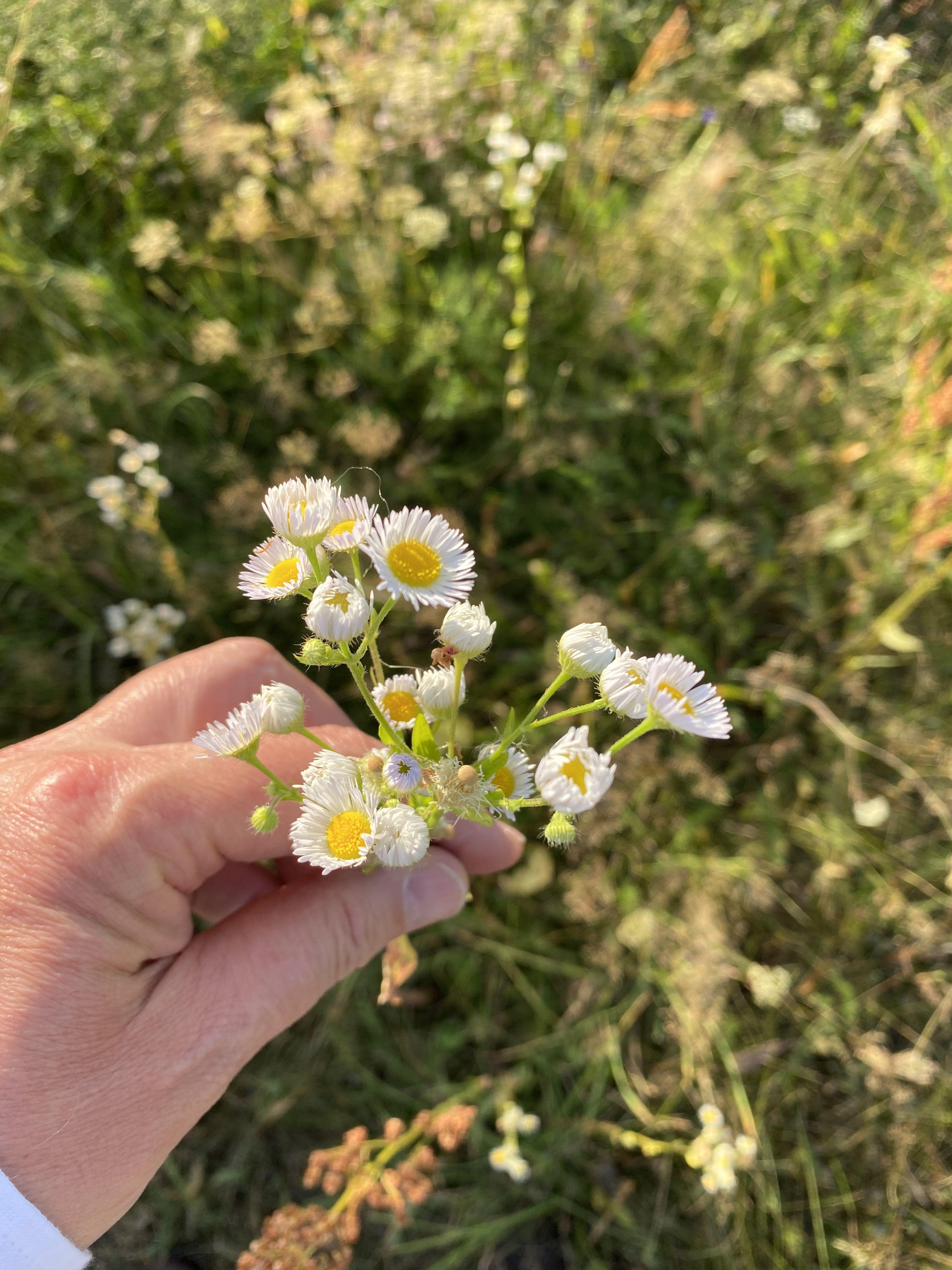 Aster Nowobelgijski Inwazyjny Flora Nature Aster