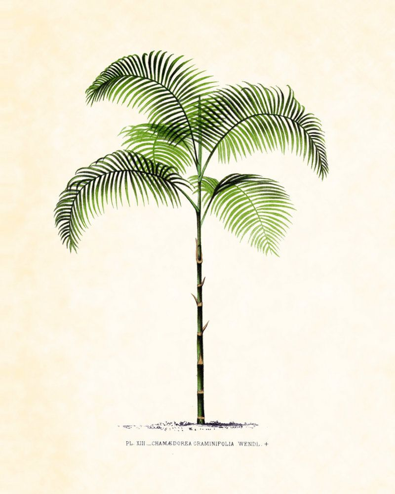 antique french palm tree plate 35 botanical 1878 8 x 10 art print