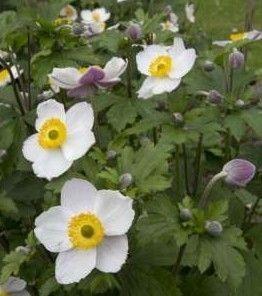 Zawilec Elfin Swan Anemone Hybrida1l Anemone Garden Theme Planting Flowers