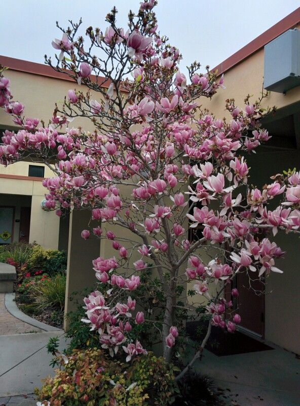 A Magnolia Bush Ground Cover Plants Urban Garden