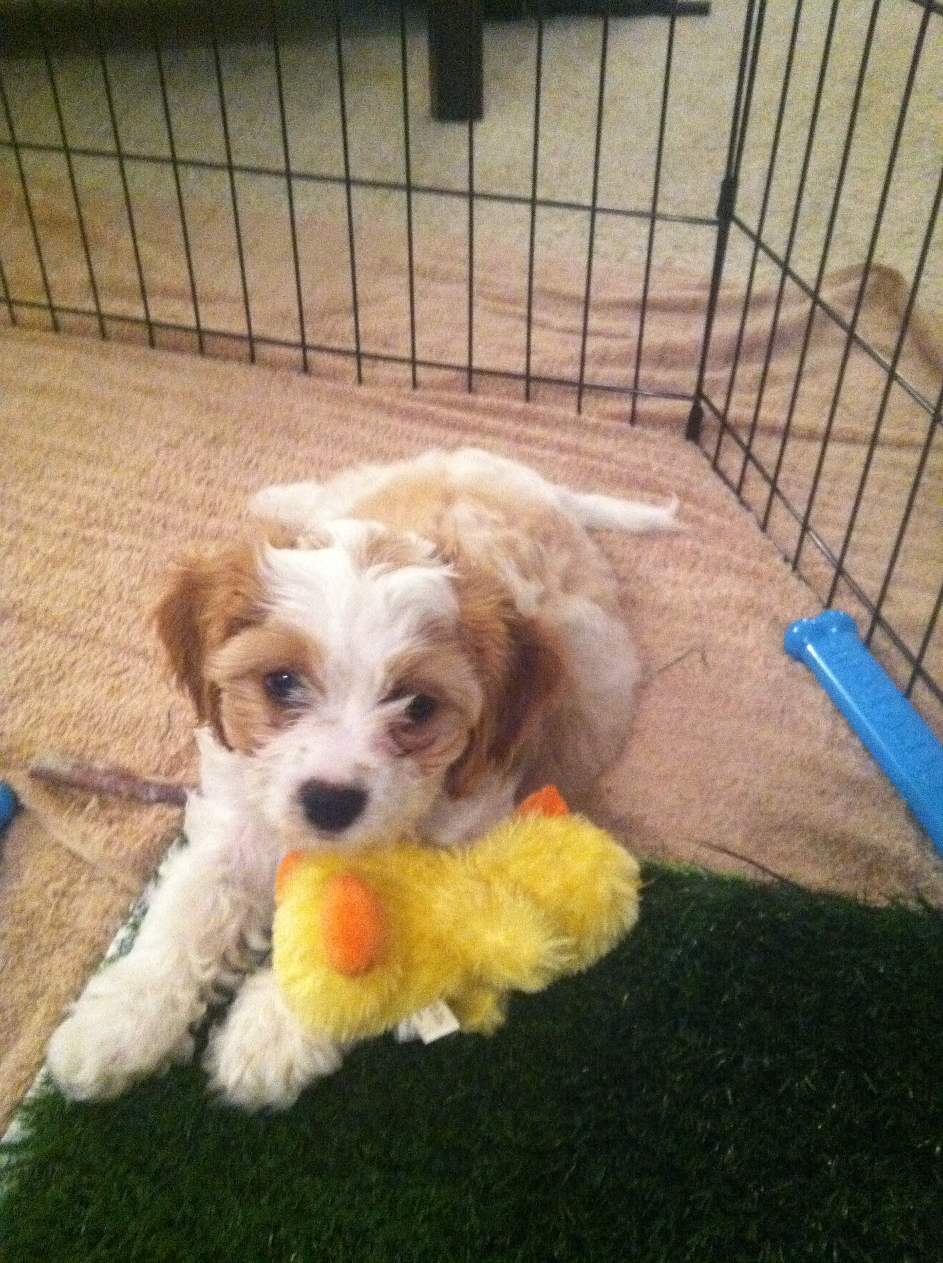 Our new Cavachon puppy, Broney!!