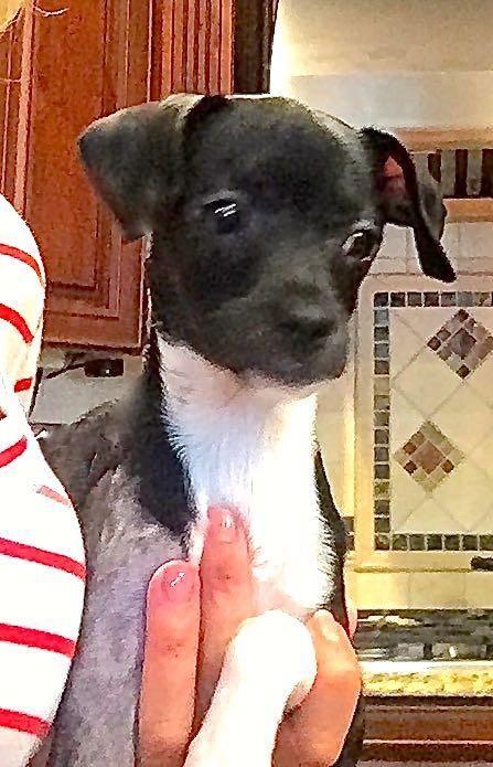 Adopt Lise On Grey Hound Dog Italian Greyhound Dog Italian Greyhound