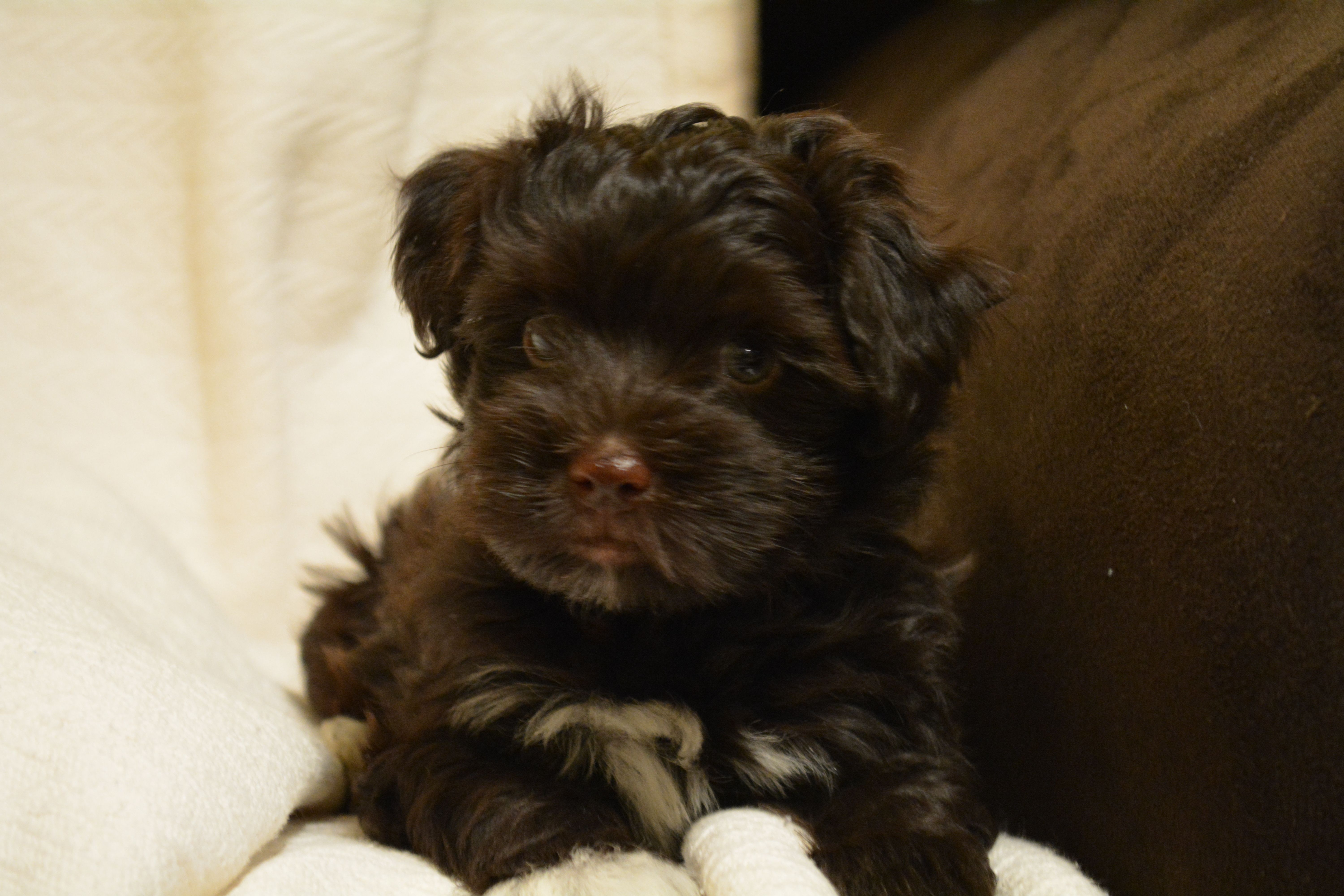 Roddy Piper Male AKC Havanese chocolate with white