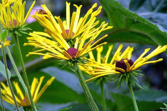 Rudbekia Nibykutnerowata Little Henry Rudbeckia Subtomentosa Sprawdz Ceny Sadzonki W Krzewyozdobne Net Plant Identification Echinacea Flower Therapy
