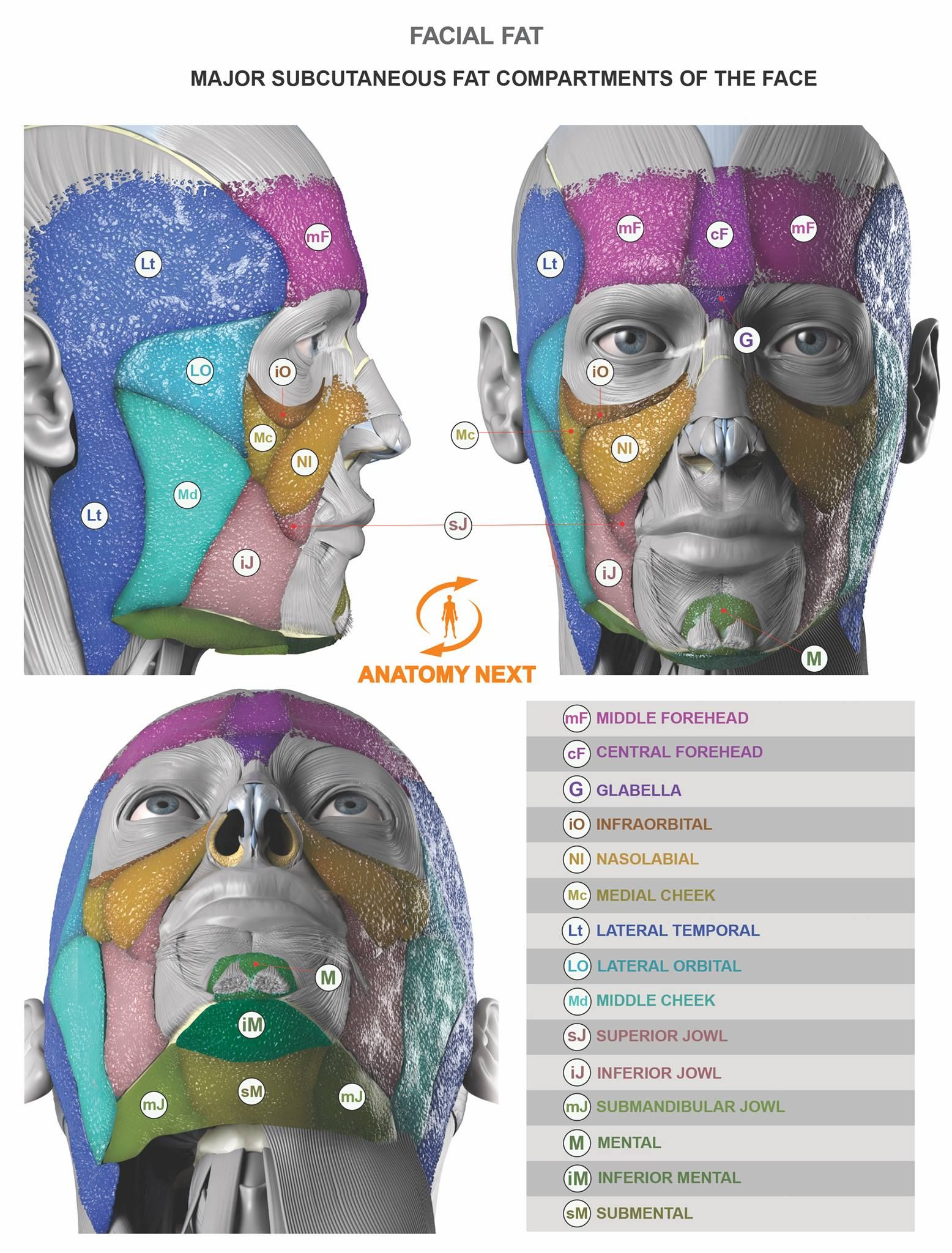 Facial fat www.anatomynext.com | Anatomy Reference (2D/3D ...