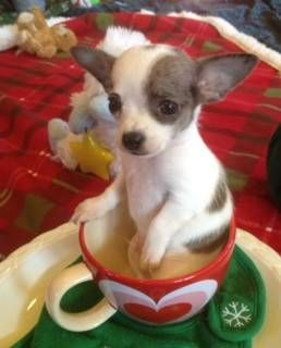 Akc Chihuahua Blue Merle Spotted On White Boy Puppies Dogs