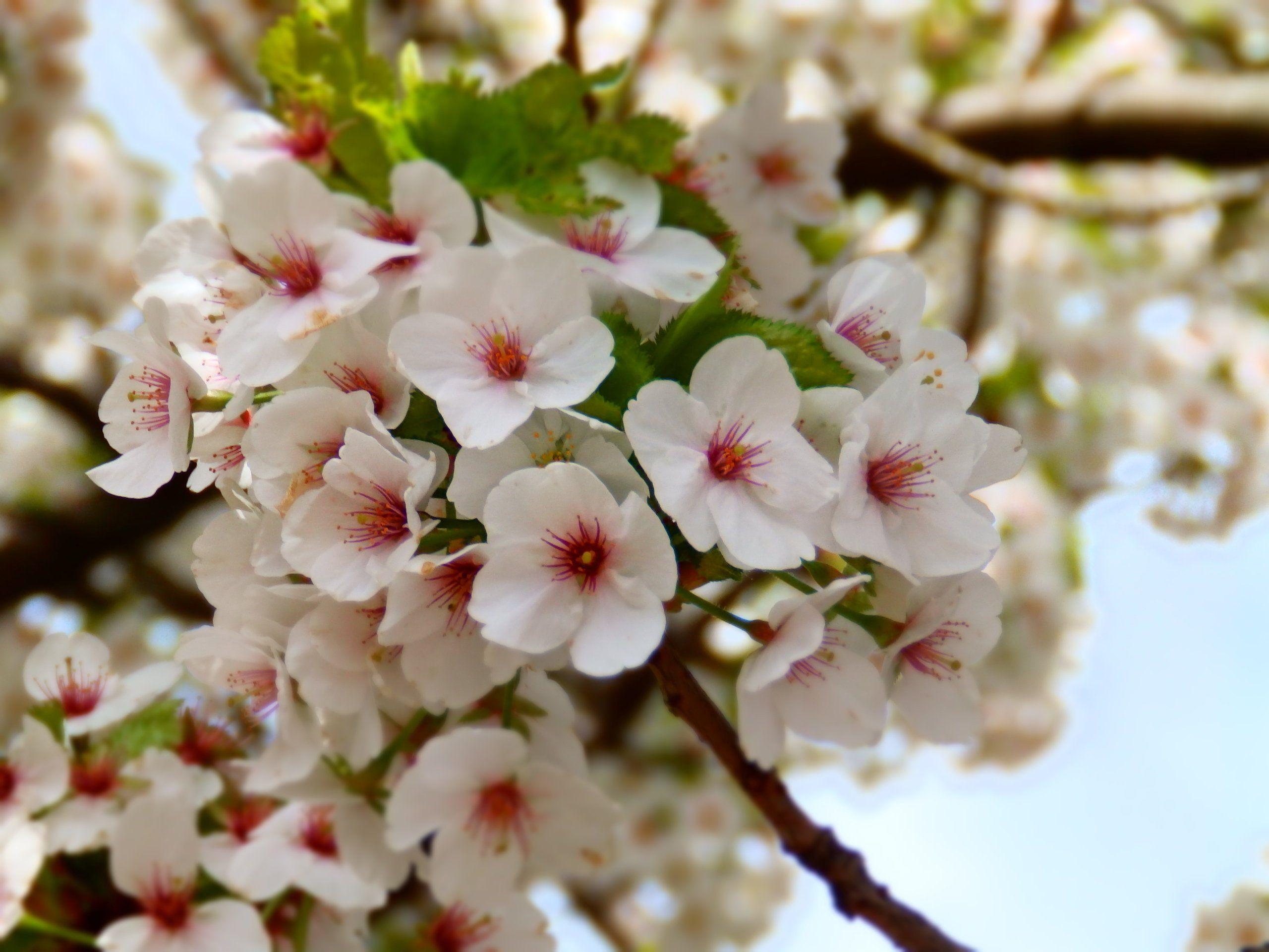 Cherry Blossom Tree White Flowers Wall Decor Canvas Photo Print Cherry Blossom Tree White Flowering Trees Blossom Trees