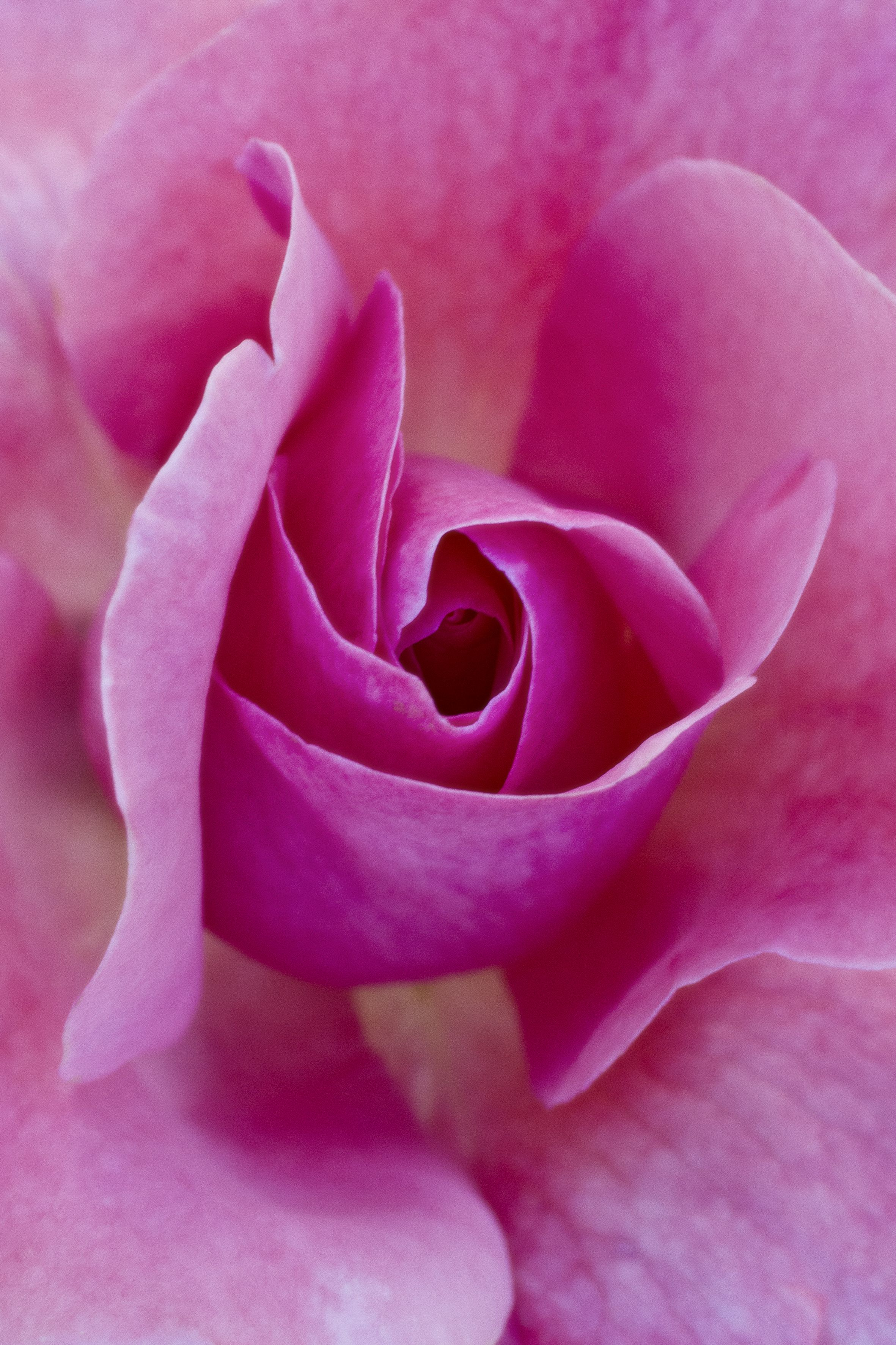 Rose blossom pink rosecolored shades rosecolored