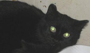 Adopt Minnie On Cats Short Hair Black Humane Society