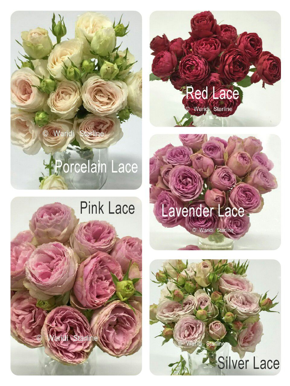 Clustar Roses Big Garden Style Spray Rose That Looks Like Ranunculus Beautiful Vintage Shades Of Lilac Colorful Wedding Flowers Flower Guide Floral Flowers
