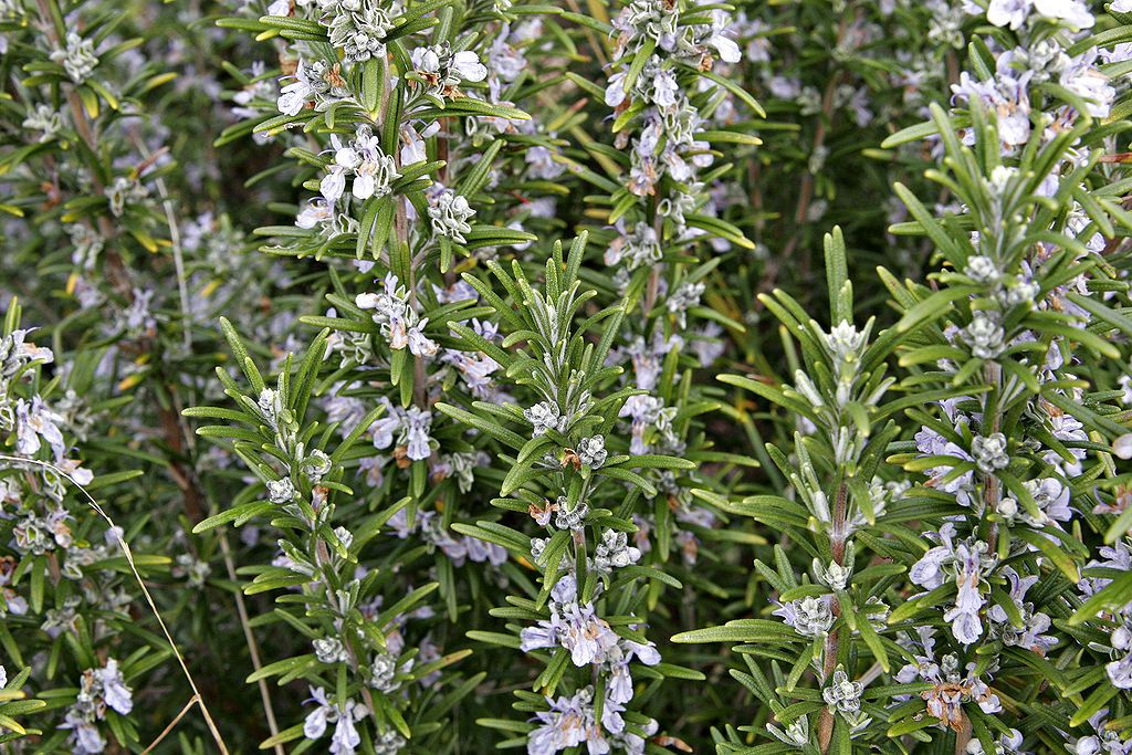 Rosemary Plant Care Guide Growing Rosemary Rosemary Plant Edible Plants
