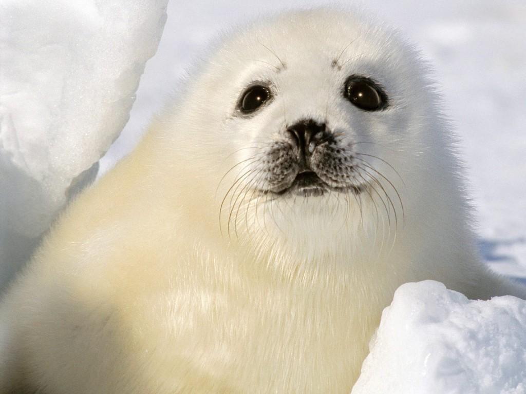 The Animal Kingdom Wallpaper Seal Wallpaper Animals Albino Animals Baby Harp Seal