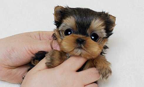 Baby Yorkies For Free Absolutely Darling Baby Yorkie Available