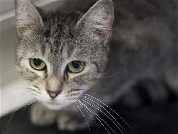 Hi There I M Bella I M A Kitten From Brisbane Who Is Looking For A Home Of My Own I Love Tickles And Scratches And I M A Kittens Adoption Animals