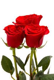 Gambar Bunga Ros : gambar, bunga, Gambar, Bunga, Google, Search, Feliz,, Fotos