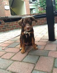 Adopt Capone On Rottweiler Mix Labrador Retriever Dog