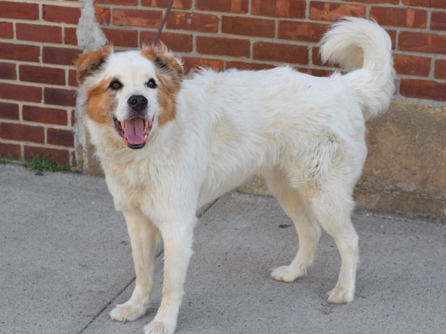 SAFE 7-1-2015 --- SUPER URGENT Brooklyn Center KUSH – A1040982 NEUTERED MALE, WHITE / BROWN, ENG SHEPHERD / MASTIFF, 8 yrs OWNER SUR – EVALUATE, NO HOLD Reason PERS PROB Intake condition EXAM REQ Intake Date 06/21/2015