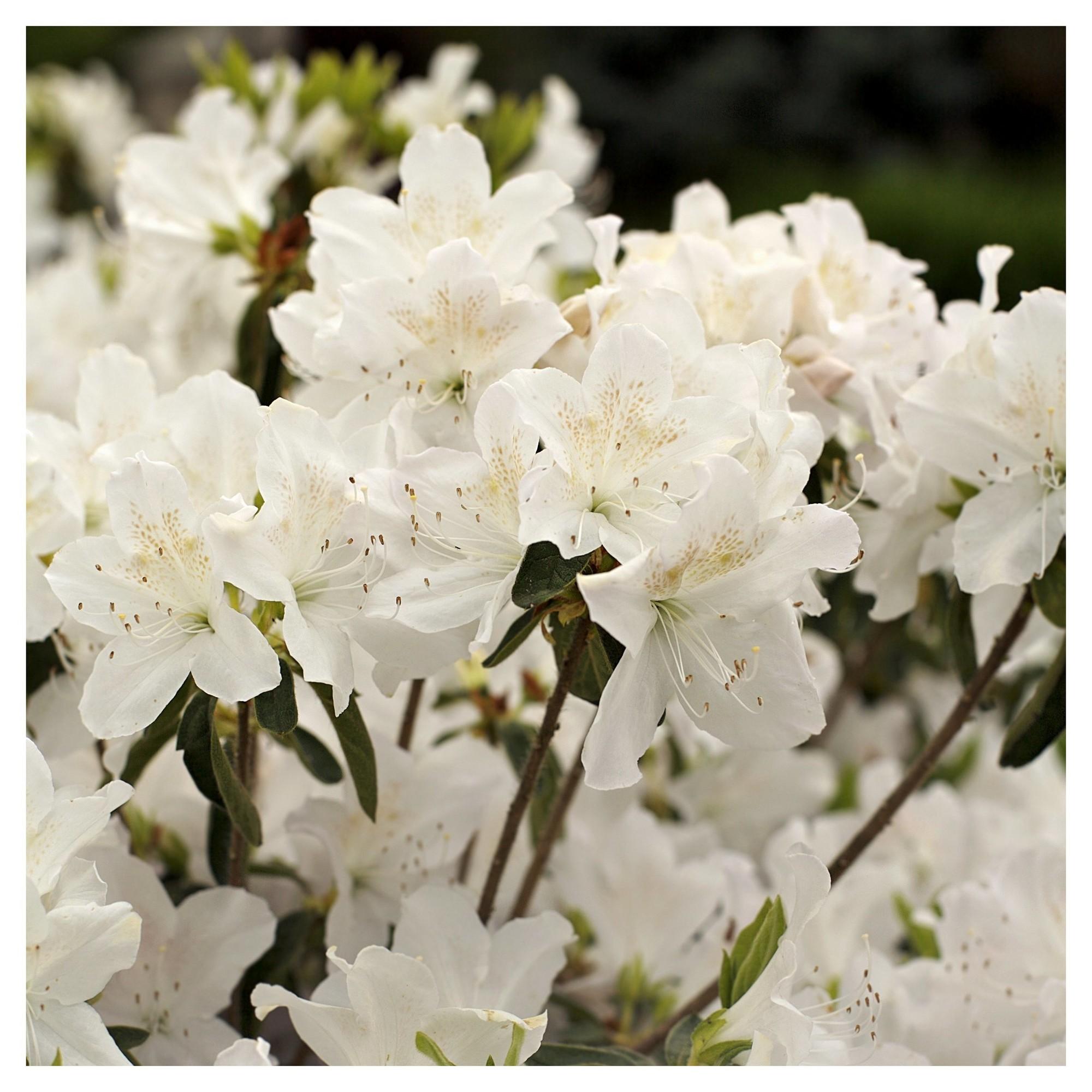 Azalea 'Snow' 1pc National Plant Network U.S.D.A