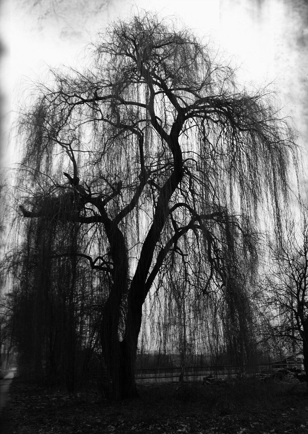 Weeping Willow by Luna-Caillean.deviantart.com on ...Weeping Willow Black And White Tattoo