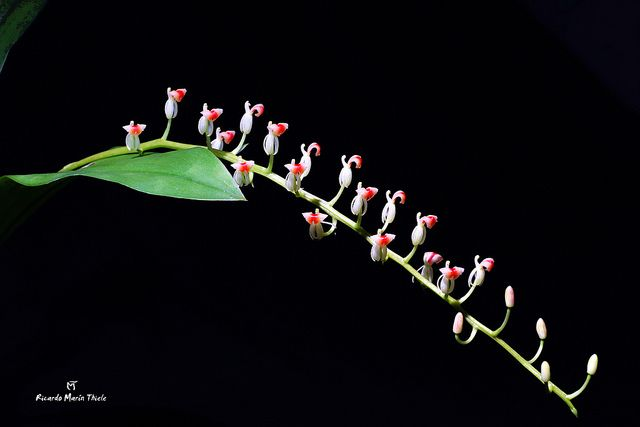 Liparis rhombea