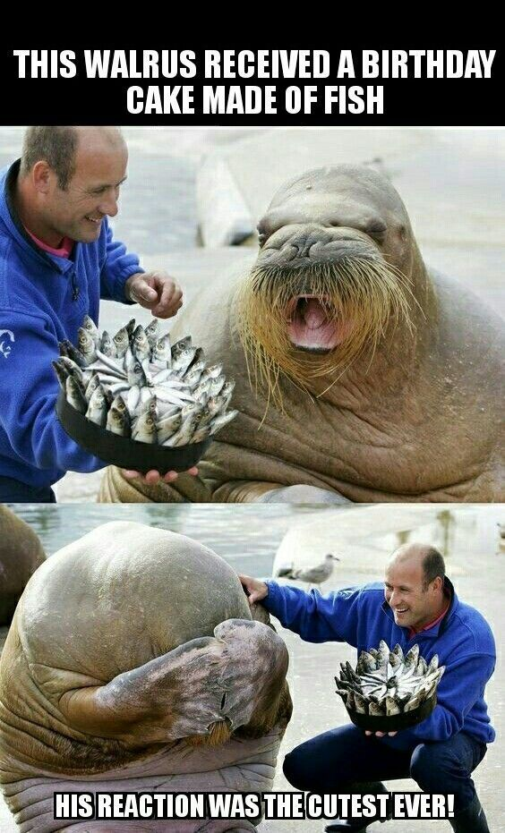 Walrus Receives Bd Cake Of Fish Funny Animal Memes And Cartoons