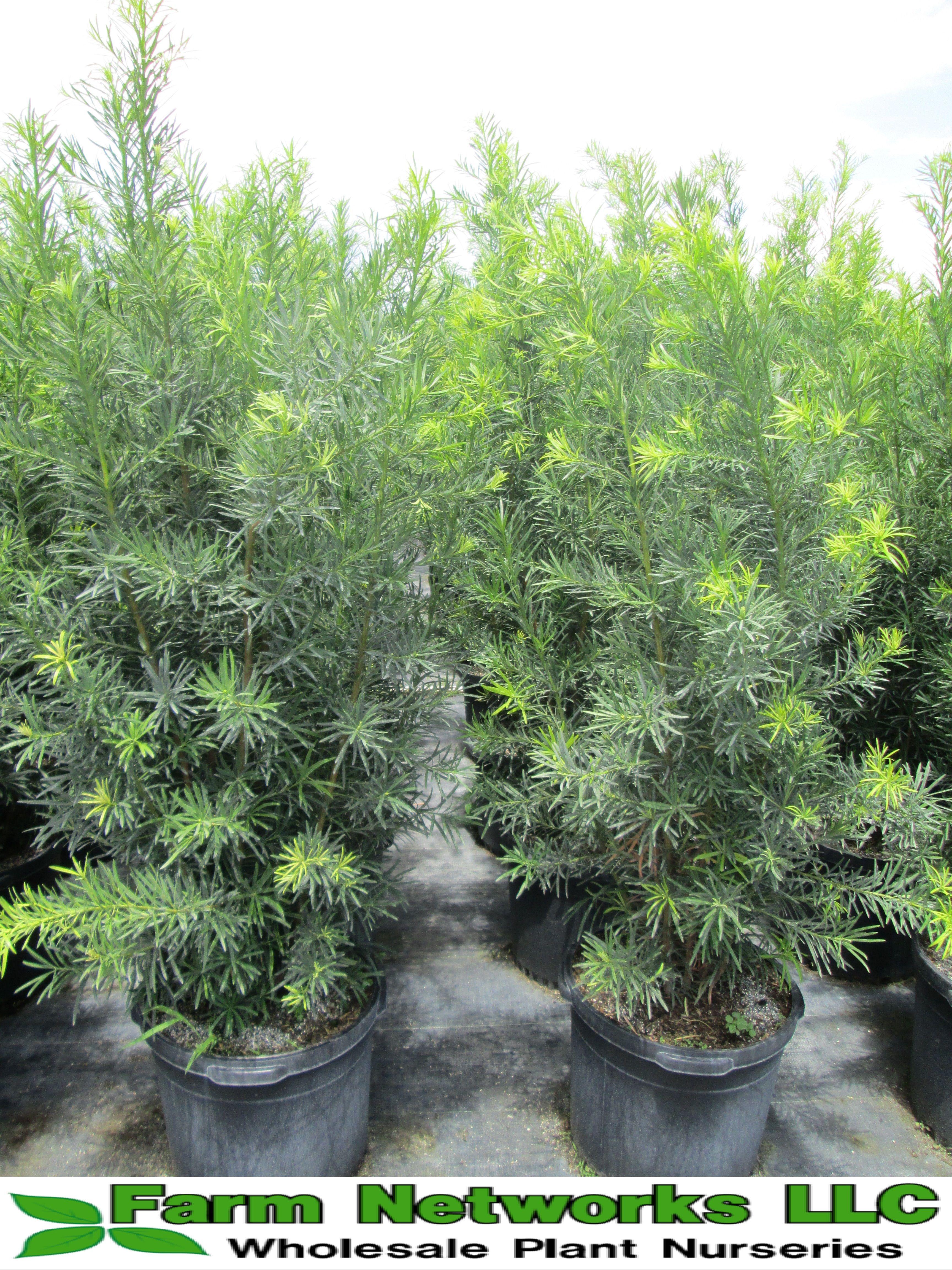 Miami Podocarpus Podocarpus Plant Podocarpus Podocarpus