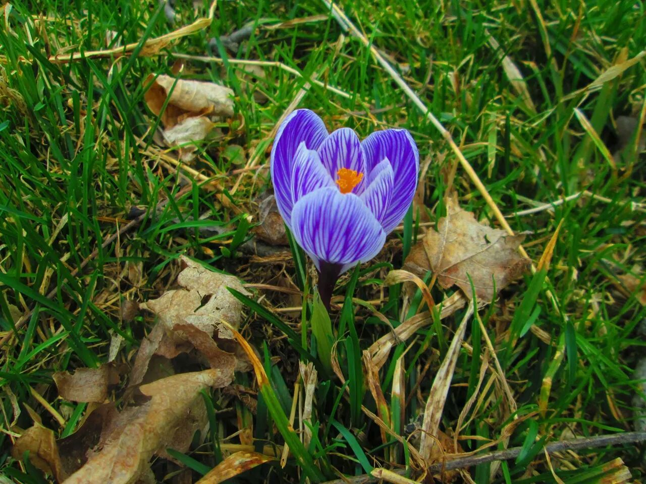 Tulips Known As The First Flower Of Spring Peaking Up Into The