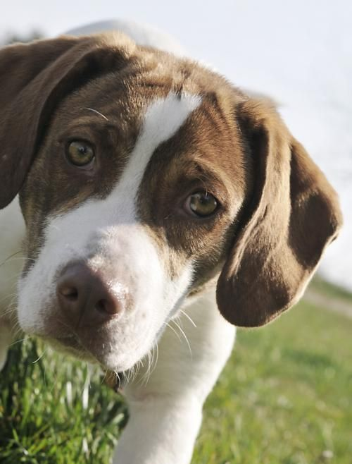 Adopt Gemma On Scruffy Dogs Beagle Dog Brittany Spaniel