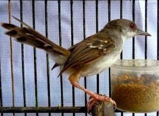 Tips Merawat Burung Tips Ampuh Melatih Perenjak Sawah Cepat Gacor Burung Peliharaan Burung Jenis