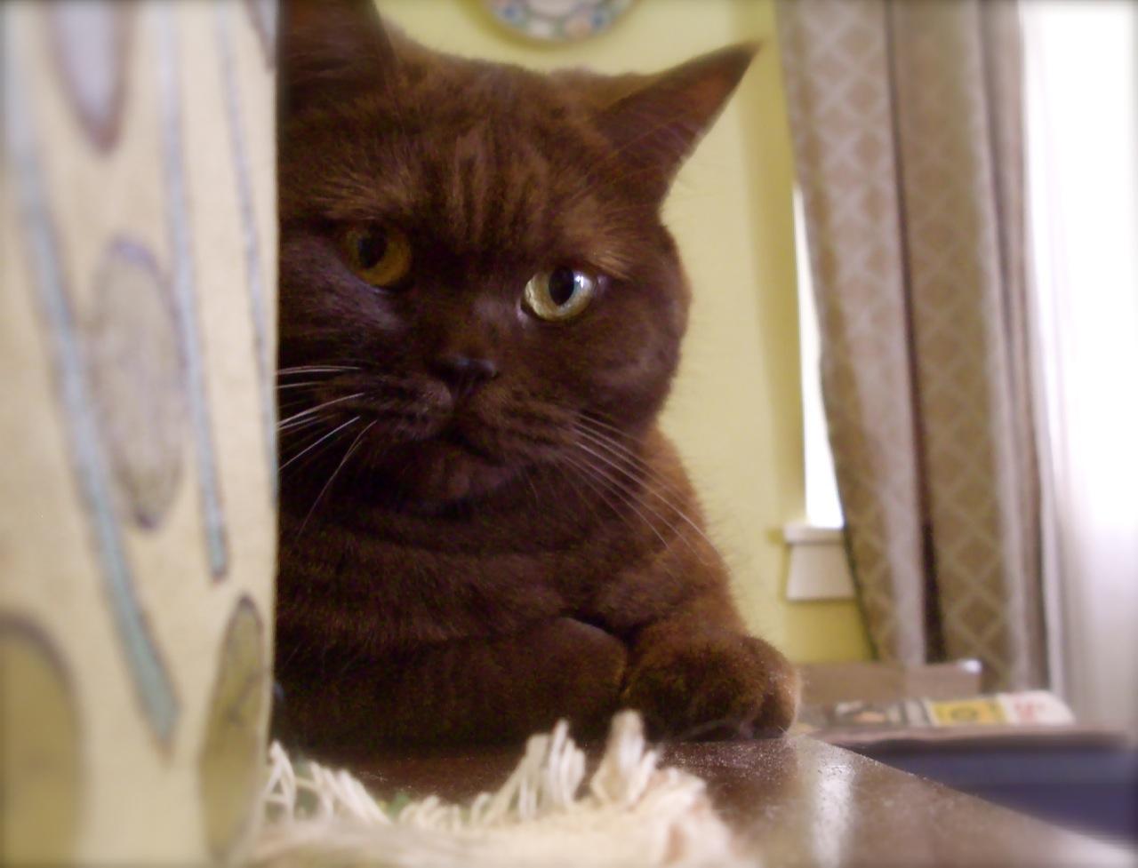 Chocolate British Shorthair Cat American Shorthair Cat British