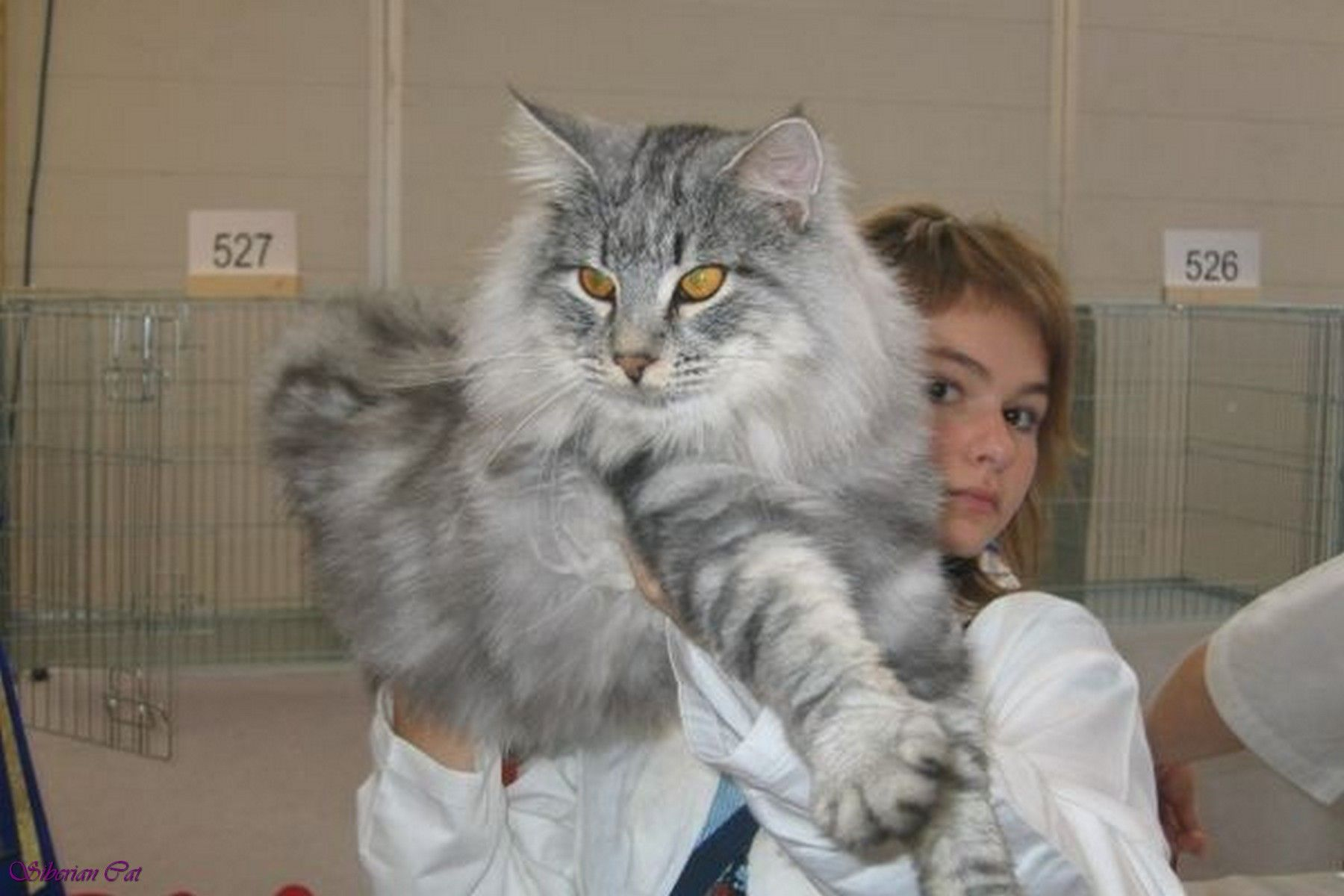 Siberian cat is a landrace variety of domestic cat present in cat geenschuldenfo Images