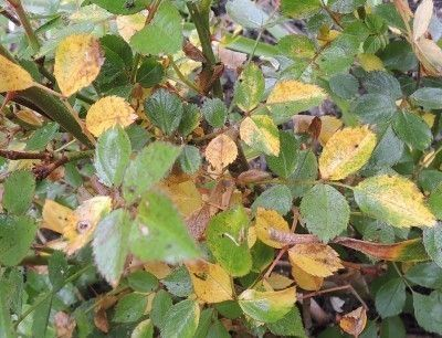 Reasons For Rose Leaves Turning Yellow With Images Yellow