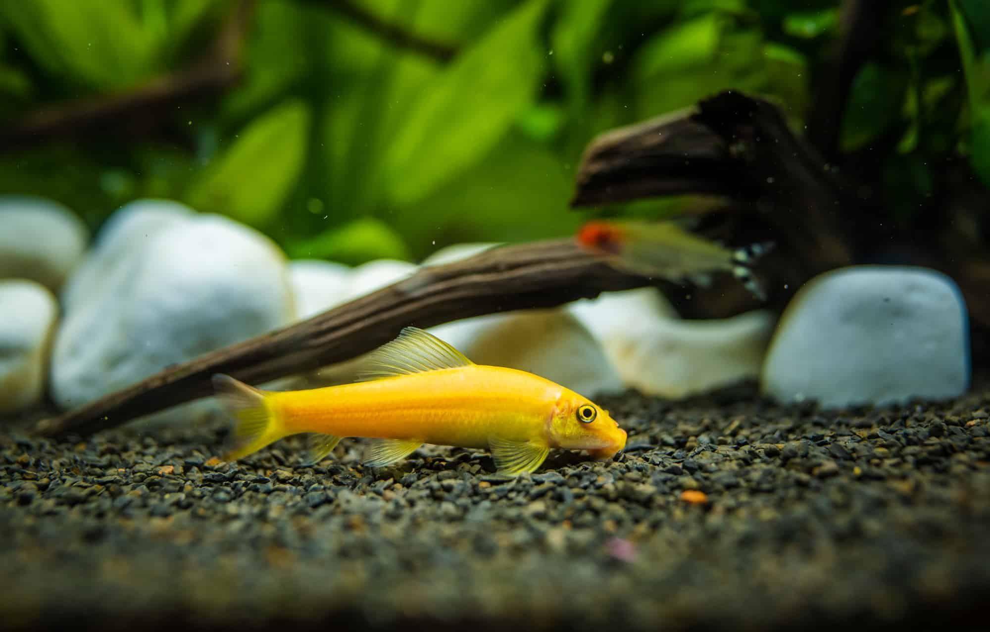 Chinese Algae Eater Care Behavior And Diet Algae Aquarium Fish Eater