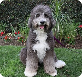 Adopted Newport Beach Ca Bearded Collie Poodle Standard